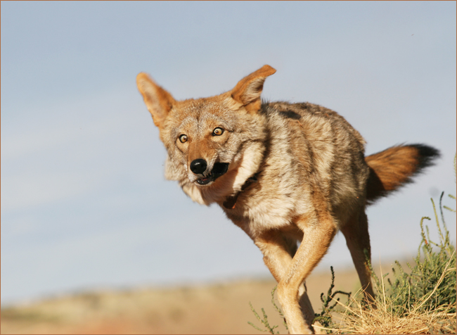 Gerald Ehegartner - Der Weg des Koyoten